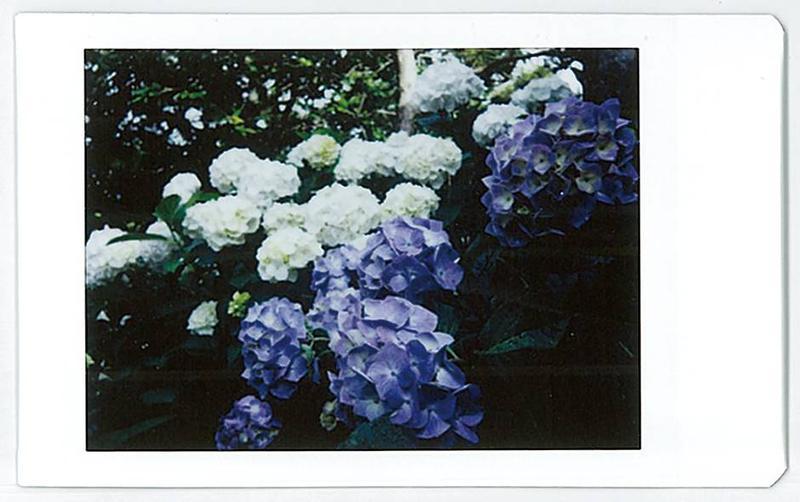 ライカ ゾフォートで撮影した紫陽花の写真